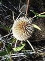 Dipsacus sativus-24.jpg
