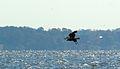 Diving eagle (6329799328).jpg