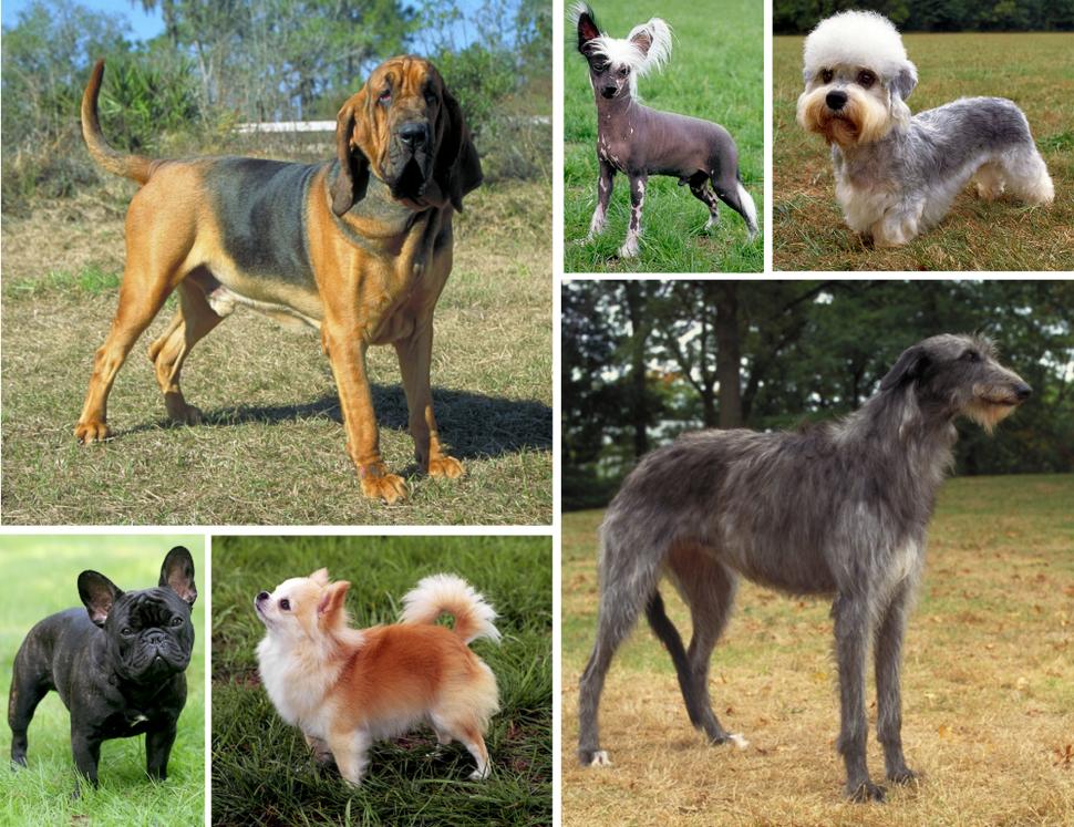 Dog morphological variation