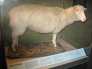 Los restos disecados de Dolly son exhibidos en el Museo Real de Escocia.