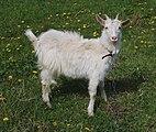 Domestic goat 2017 G1.jpg