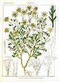 Doronicum candolianum Rungiah.jpg