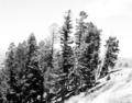 Douglas fir group on a steep slope. ; ZION Museum and Archives Image ZION 14970 ; ZION 14970 (1b2d3372383d4a73bc850d199dcd3cbf).tif