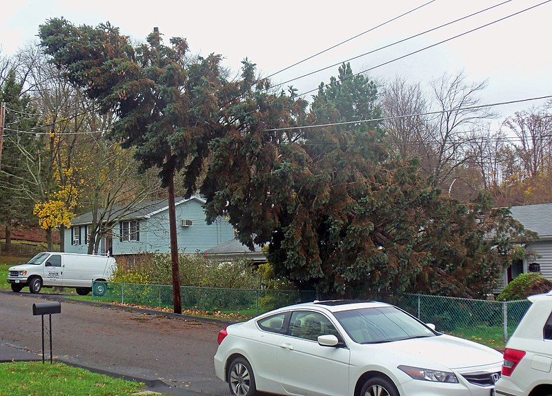File:Downed spruce tree on power line in Walden, NY, after Hurricane Sandy.jpg