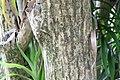 Dracaena americana 1zz.jpg