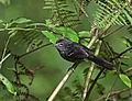 Drymophila malura -Reserva Guainumbi, Sao Luis do Paraitinga, Sao Paulo, Brasil-8.jpg