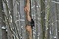 Dryocopus martius in the Teufelsbruch 2021-02-10 16.jpg