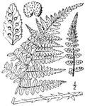 Dryopteris × boottii BB-1913.png