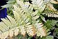 Dryopteris erythrosora 4zz.jpg