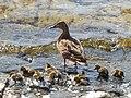 Duck Family Of Eccup - panoramio.jpg