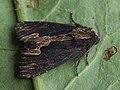 Dypterygia scabriuscula - Bird's wing - Травянистая совка бурая (39312907570).jpg