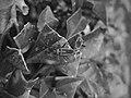 Dysdercus mimulus mating (b&w).jpg