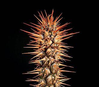 Euphorbia didiereoides - Image: E didieroides ies