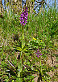 Early Purple Orchids (Orchis mascula) (17006519337).jpg