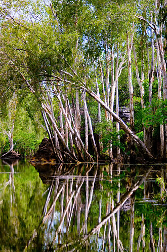 Melaleuca - Paperbark trees on the East Alligator River in the Northern Territory