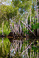East Alligator River Paperbarks.jpg