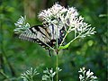 Eastern Tiger Swallowtail (28981372066).jpg