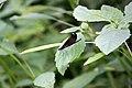 Ebony Jewelwing side (4684158930).jpg