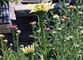 Echinacea Sunrise 3zz.jpg