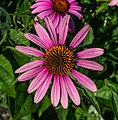 Echinacea purpurea in Aboul.jpg