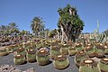 Echinocactus grusonii - Oasis Park - 001.jpg