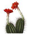 Echinocereus polyacanthus acifer pm.jpg