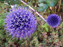 Echinops Ain France.jpg