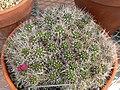 Echinopsis yuquina 1.jpg