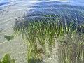 Eelgrass (Zostera marina) - iNaturalist.org(1).jpg