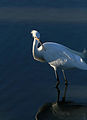 Egret-11.jpg
