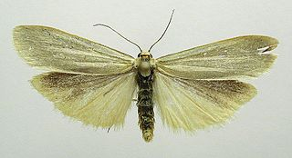 <i>Manulea</i> genus of insects