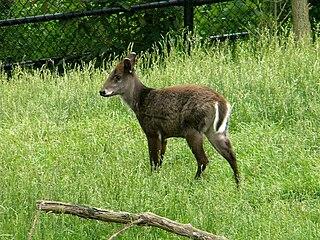 Tufted deer A species of mammals belonging to the deer, muntjac, roe deer, reindeer, and moose family of ruminants