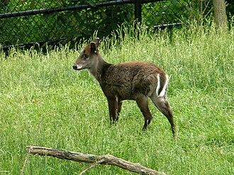Tufted deer - Tufted deer at the Columbus Zoo and Aquarium