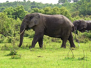 Northern Region (Ghana) - Elephants at Mole National Park