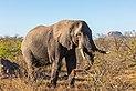 Elefante africano de sabana (Loxodonta africana), parque nacional Kruger, Sudáfrica, 2018-07-25, DD 20.jpg