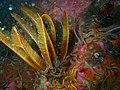 Elegant feather star at Three Bears Pinnacle P9090533.jpg