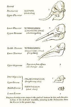 meaning of elephantidae