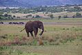 Elephant at Pilanesberg National Park 11.jpg