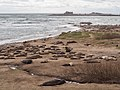 Elephant seals at Ano Nuevo (91629).jpg
