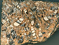 "Elimia tenera fossil gastropods in lacustrine fossiliferous chert (""Turritella Agate"", Green River Formation, Lower Eocene; southern Wyoming, USA) (15043934260).jpg"