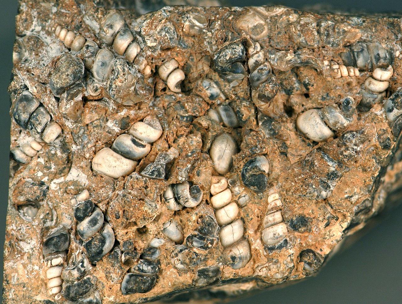 File Elimia Tenera Fossil Gastropods In Lacustrine