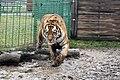 Em - Panthera tigris altaica 10.jpg