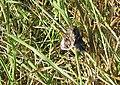 Emperor moth, Saturnia pavonia - geograph.org.uk - 1511737.jpg
