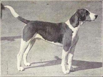 English Foxhound - English Foxhound circa 1915.
