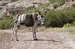 Equus asinus - Donkey 02.jpg