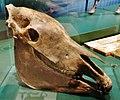 Equus conversidens skull.jpg