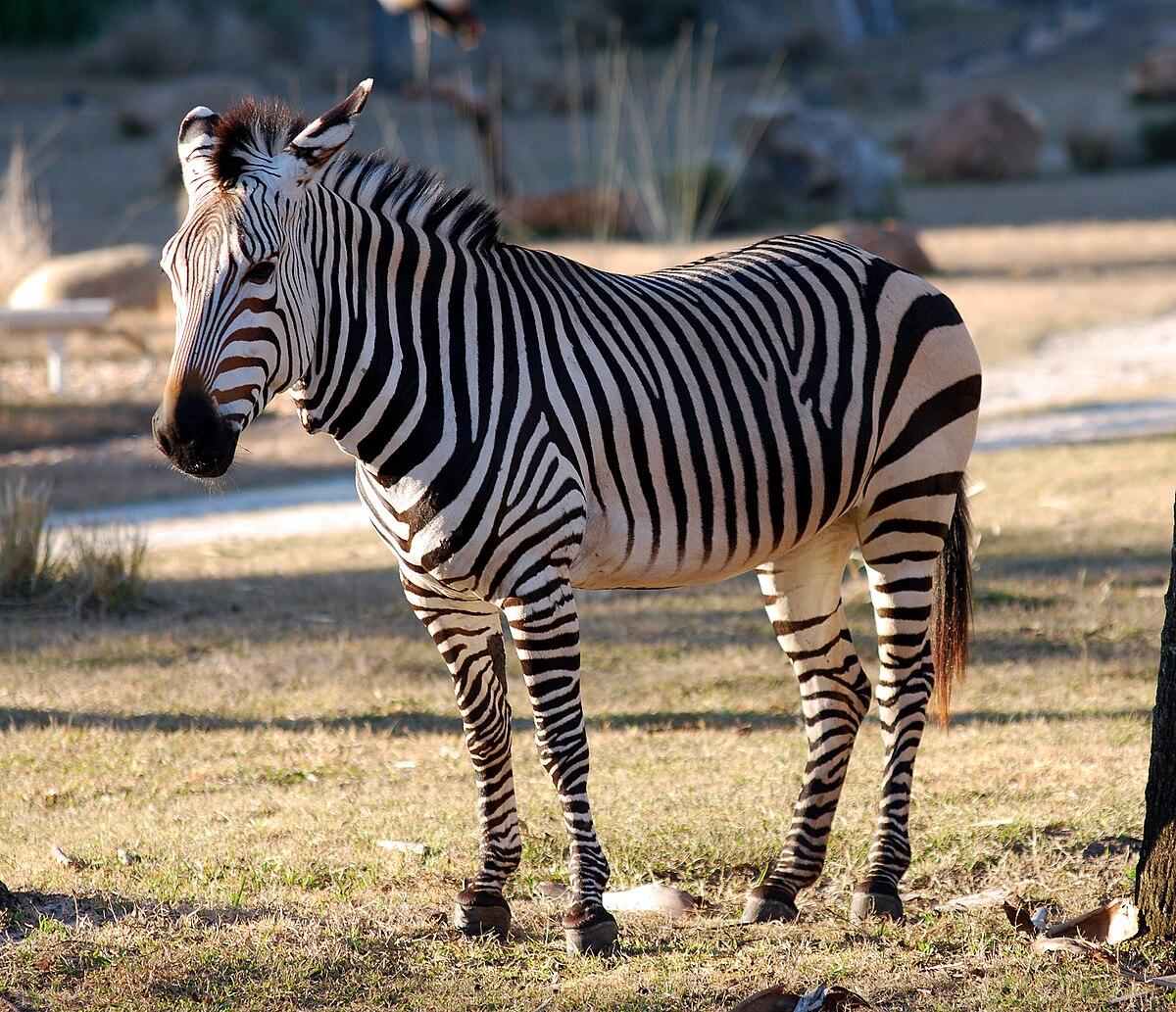 Equus zebra - Wikipedia, la enciclopedia libre