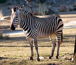 Equus zebra - Disney's Animal Kingdom Lodge, Orlando, Florida, USA - 20100119.jpg