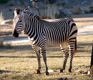 Bergzebra (Equus zebra) im Walt Disney World Resort