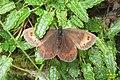 Erebia sp. (Ehrwald) (24579532312).jpg